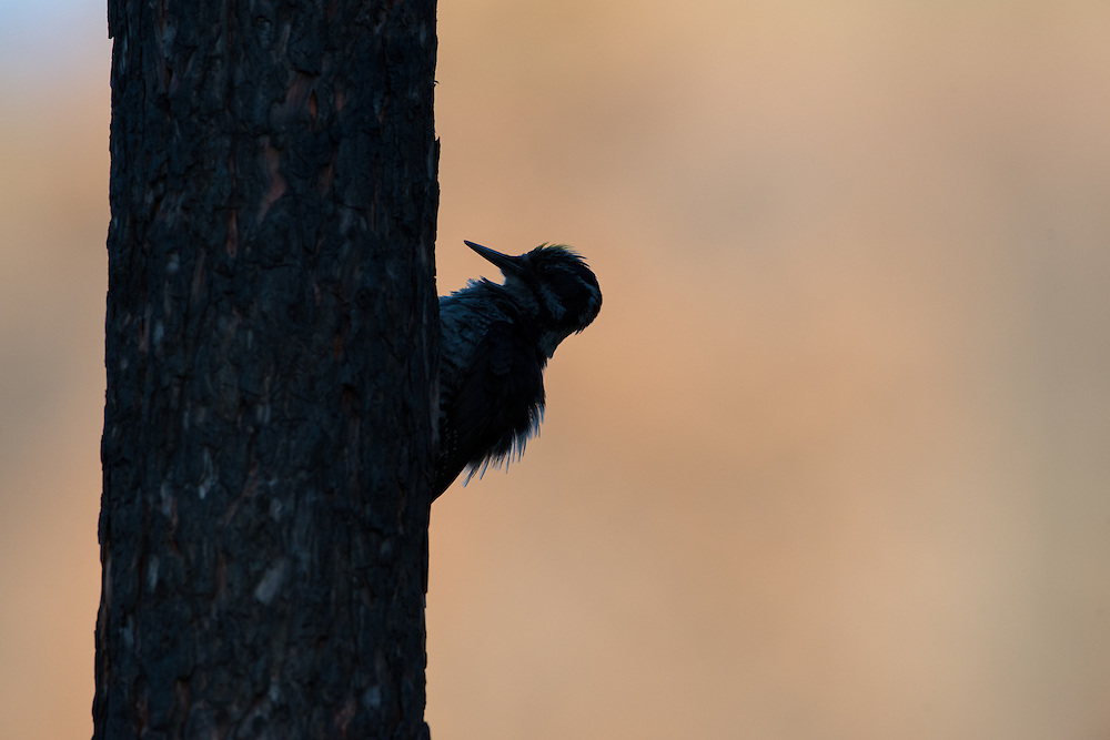 Silhouetted three-toed woodpecker, Lolo National Forest, Montana