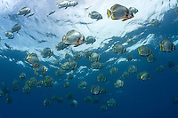 Spadefish (Batfish) schooling near the surface.<br /> <br /> Shot in Indonesia