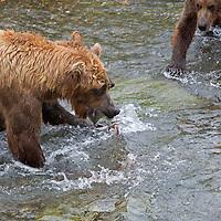 USA, Alaska, Katmai. Brown Bears fishing at Brooks Falls, Katmai National Park.