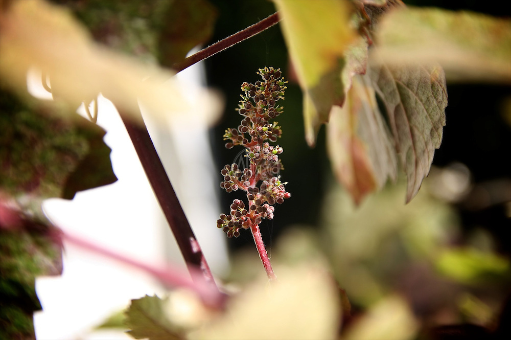 Flowers at home, July 2012. Purple leaf grape.