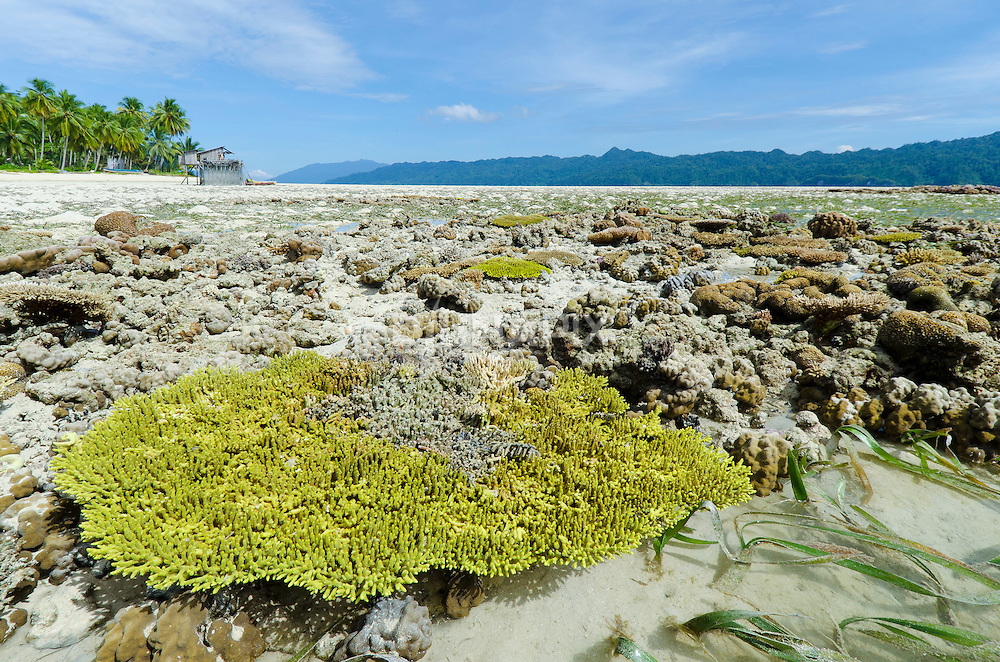 Emergent coral reefs at Erenang, HQ for a rapidly expanding mariculture proect.