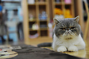 NANJING, CHINA - JANUARY 08: China Out - Finland Out<br /> <br /> Cats Cafe <br /> <br /> A cat is seen at a cats cafe on January 8, 2014 in Nanjing, Jiangsu Province of China. This is the first 'cat cafe in Nanjing, where customers can enjoy a drink while playing with cats. <br /> ©Exclusivepix