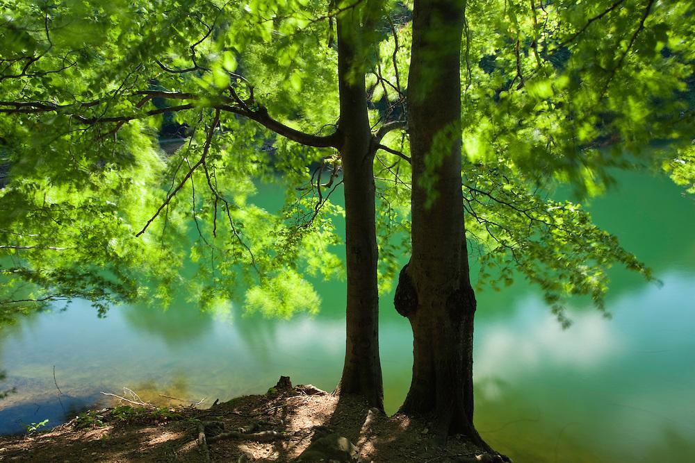 Beech Tree in wind, Fagus sylvatica, Morske Oko Reserve, Vihorlat Mountains, Western Carpathians, Eastern Slovakia, Europe