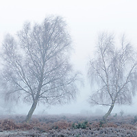 New Forest trees in mist at dawn