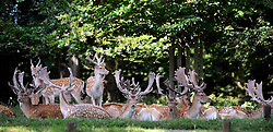 © licensed to London News Pictures. RICHMOND, UK.  02/08/11. Deer shelter from the hot sun in the shade of a tree today (2nd August 2011) in Richmond Park, Surrey. Temperatures are set to reach 30 degrees Celsius in some parts of London over the next few days.  Mandatory Credit Stephen Simpson/LNP