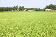 Etualalla herne-kaura seosvilja, tummempi vihreä on porkkanaa ja harson alla lanttua. Taustalla Hovinsalon tilan rakennukset.