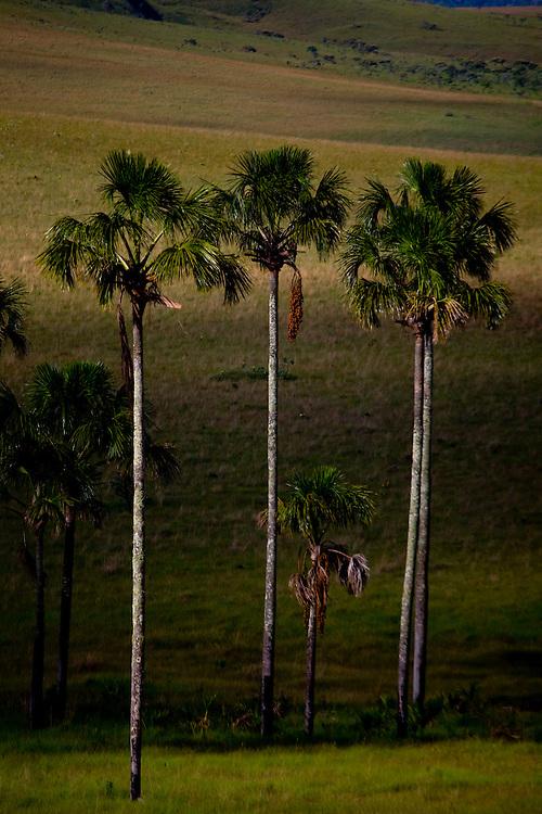 Alto Paraiso de Goias_GO, Brasil...Coqueiros no Parque Nacional da Chapada dos Veadeiros...The coconut-tree in the Chapada dos Veadeiros National Park...Foto: JOAO MARCOS ROSA / NITRO..