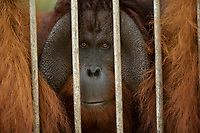 A non-releasable flanged male orangutan at IAR<br />