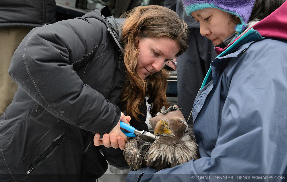 "Rachel Wheat, a graduate student at the University of California Santa Cruz (left), seals the rivets of a lightweight harness to which a solar-powered GPS satellite transmitter (also known as a PTT - platform transmitter terminal) is attached to the back of a bald eagle (Haliaeetus leucocephalus) captured in the Alaska Chilkat Bald Eagle Preserve. Assisting Wheat by holding the eagle is Yiwei Wang, graduate student, University of California Santa Cruz (right). A handmade leather hood keeps the eagle calm during the procedure. Wheat is conducting a bald eagle migration study of eagles that visit the Chilkat River for her doctoral dissertation. She hopes to learn how closely eagles track salmon availability across time and space. The latest tracking location data of this bald eagle known as ""2Z"" can be found here: http://www.ecologyalaska.com/eagle-tracker/2z/ . During late fall, bald eagles congregate along the Chilkat River to feed on salmon. This gathering of bald eagles in the Alaska Chilkat Bald Eagle Preserve is believed to be one of the largest gatherings of bald eagles in the world."