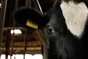 Holstein-Rind<br /> -  Milchkuh. Hof: <br /> Familie Specker-Dünhöft<br /> Im Brook 6<br /> 26899 Rhede
