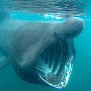 The west coast of Scotland is one of the best places in the world, along with my home region of the SW of England, for seeing basking sharks, the second largest fish in the world. They can grow up to 10m (33ft) long. They are an open water shark, but move closer to shore in summer to feed on the plankton bloom. They are usually solitary, but occasionally gather in aggregations of 100 or more where there are large concentrations of plankton, usually where there are tidal fronts where different water masses meet. They are filter feeders, and in 1 hour they can filter 1.5 million litres (330,000 gallons) of water through their gills. They are highly migratory, but long-distance tracking of individuals only began recently, and it is still unknown whether they migrate between lower and higher latitudes, or between deep and shallow water. Their livers contain a large proportion of oil typical of deepwater sharks, which may indicate that they spend some time in deep water. Very little is known about their breeding. They probably mature late and reproduce slowly, making them particularly vulnerable to overfishing, especially as fisheries catch more females than males. They were once fished commercially on a small scale around Scotland for their huge livers, which contain oils formerly used in various industries, with a peak recorded catch of 250 sharks in 1947. But in response to dwindling numbers the basking shark has been fully protected since 1998. <br /> Because they swim at the surface, these magnificent sharks are easily harmed, either deliberately or accidentally. Currently, potential threats include bycatch in fishing nets, and disturbance or impact by jet-skis, speedboats and other vessels. Globally its conservation status is currently listed as vulnerable.