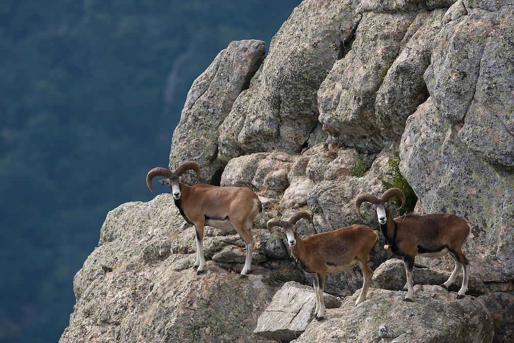 Mouflon/Ovis musimon/males/Parc naturel regional du Haut-Languedoc/Caroux/France