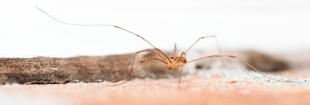 These arachnids are known for their exceptionally long walking legs, compared to body size.  They use their second pair of legs as antennae to explore their environment as illustrated in this image. (Quebec, Canada)