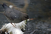 American dipper foraging on a pond along the Yaak River in early winter. Yaak Valley in the Purcell Mountains, northwest Montana.