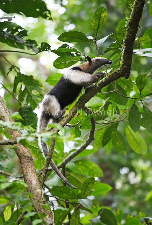 Northern Tamandua or Collared Anteater (Tamandua mexicana) climbing in rainforest. Corcovado National Park, Osa Peninsula, Costa Rica. <br />