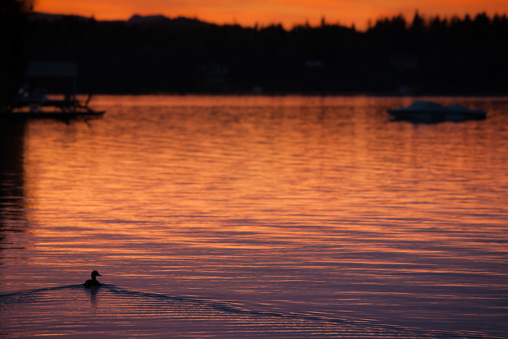 Canadian Dawn. Capturing a single duck with the beauty of the morning on one of the Canadian lakes.