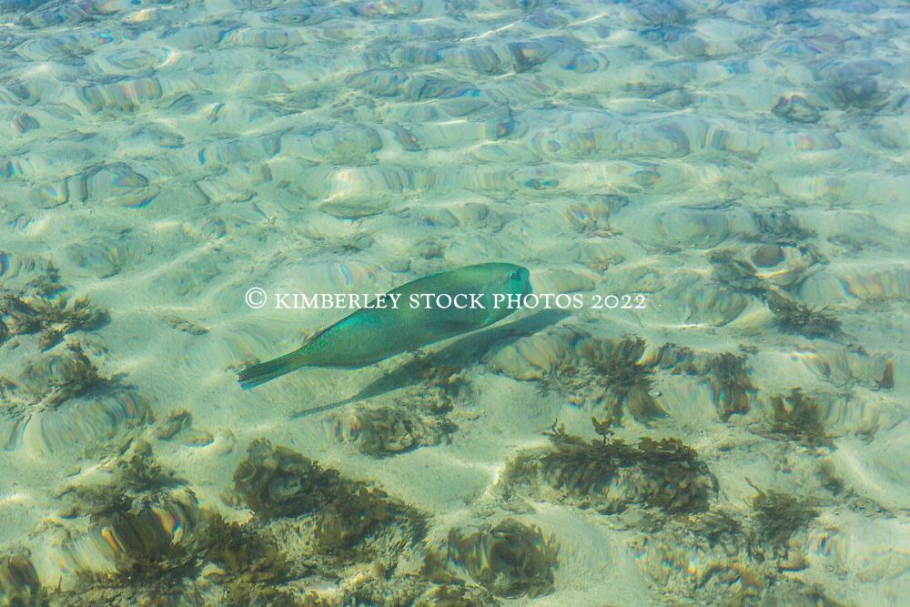 A Baldchin Groper or Bluebone (Choerodon rubescens) swims near the sandspit at Adele Island, the farthest island from the Kimberley coast.