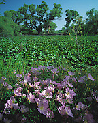 Evening Primrose (Oenothera speciosa Nuttall) and Sweet clover on Spirit Lake .©1992 Edward McCain/McCain Creative, Inc. All Rights Reserved 520-623-1998