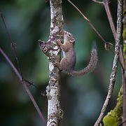 The slender squirrel (Sundasciurus tenuis) is a species of rodent in the Sciuridae family. It is arboreal and found in southern Thailand. The body is brown on the upper parts and light grey on the underparts. The body measures about 13–16 cm, with a slightly shorter slender tail. It feeds on soft bark, fruits and insects.