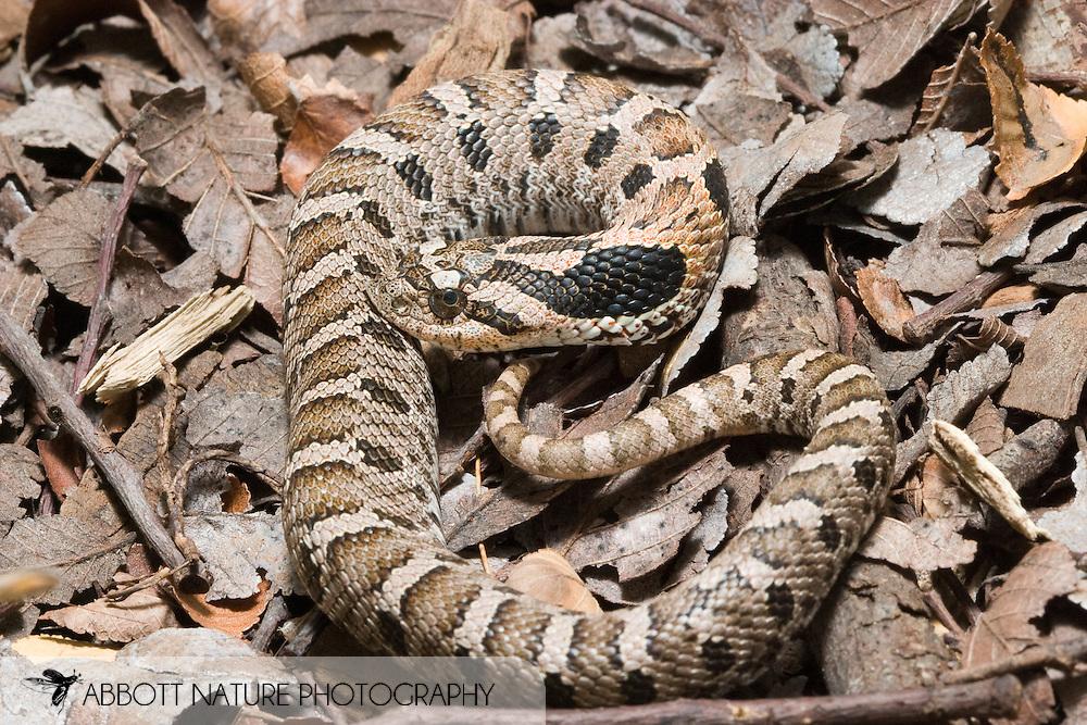 Eastern Hog-nose Snake (Heterodon platirhinos)<br /> TEXAS: Travis Co.<br /> Brackenridge Field Laboratory; Austin<br /> 30-Nov-2005<br /> J.C. Abbott