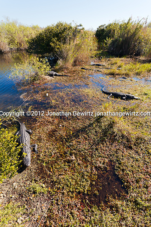 American alligators (Alligator mississippiensis) basking in the sun in the marshy part of a slough near the Anhinga Trail in Everglades National Park, Florida. WATERMARKS WILL NOT APPEAR ON PRINTS OR LICENSED IMAGES.