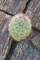 Fishhook Cactus.(Mammillaria microcarpa) Sonoran Desert, Anza-Borrego State Park California