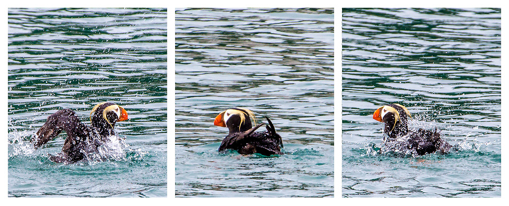 This triptych was made to show the different states this little guy was in.  Love his method of getting cleaning in the chilly water.