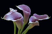 These callas were bought from a local vendor and photographed many times.