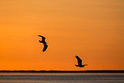 Bald eagles in flight at sunset