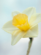 Narcissus 'Milk and Honey' - daffodil