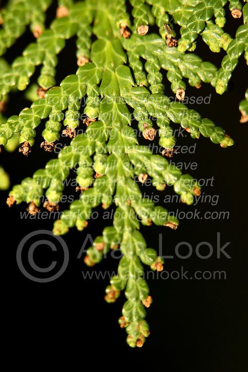 03 May 2007: Macro shots from backyard, arborvitae leaf.