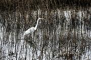 Egret, Ardeidae, Chincoteague National Wildlife Refuge, Virginia, USA