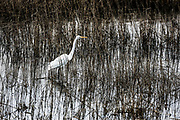 Egret, Ardeidae, Chincoteague National Wildlife Refuge, Virginia, USA