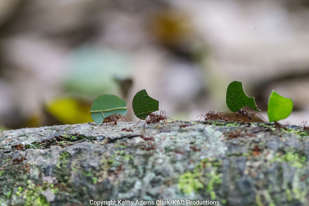 Leafcutter ants, Inkaterra Amazonia; Lake Sandoval; Madre de Dios River; Peru; Reserva Ecologica Inkaterra; Tambopata National Reserve