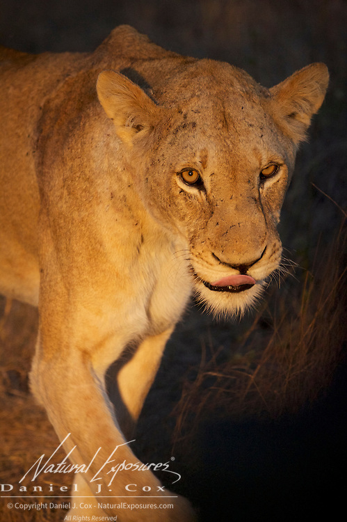 African Lion, Female, South Africa.