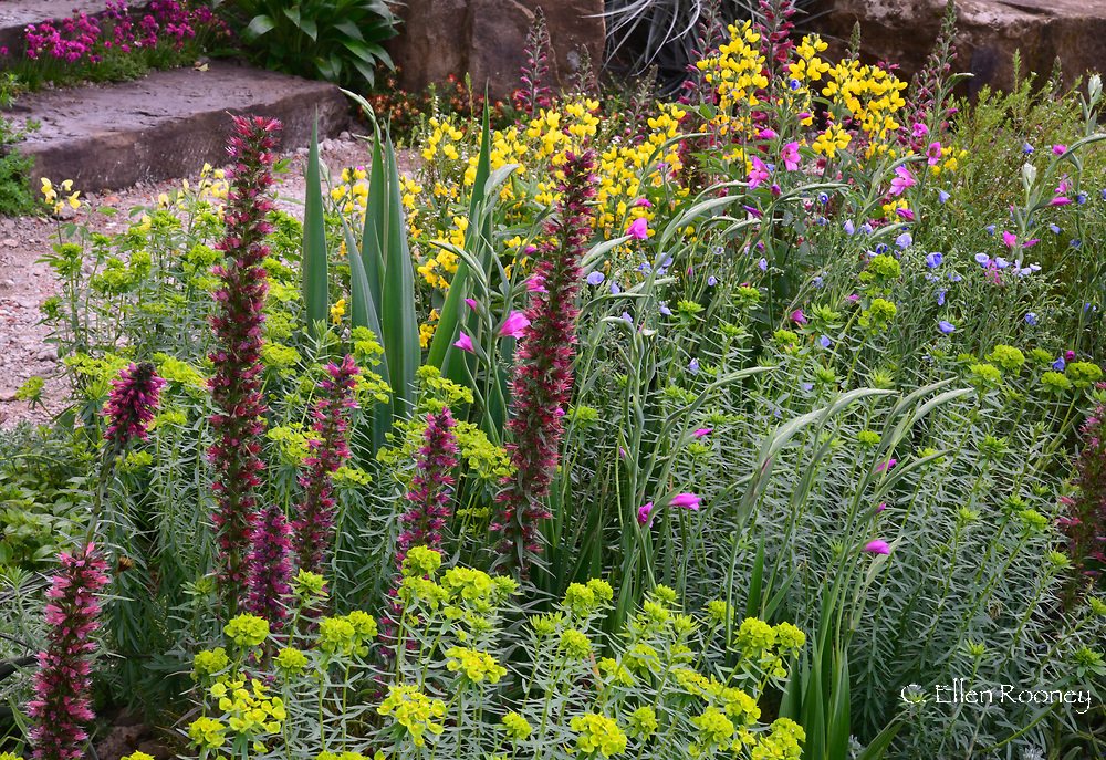 Echium russicum (Red flowered Viper's) and Euphorbia seguiera in the Resilience Garden designed by Sarah Eberle at the RHS Chelsea Flower Show 2019.