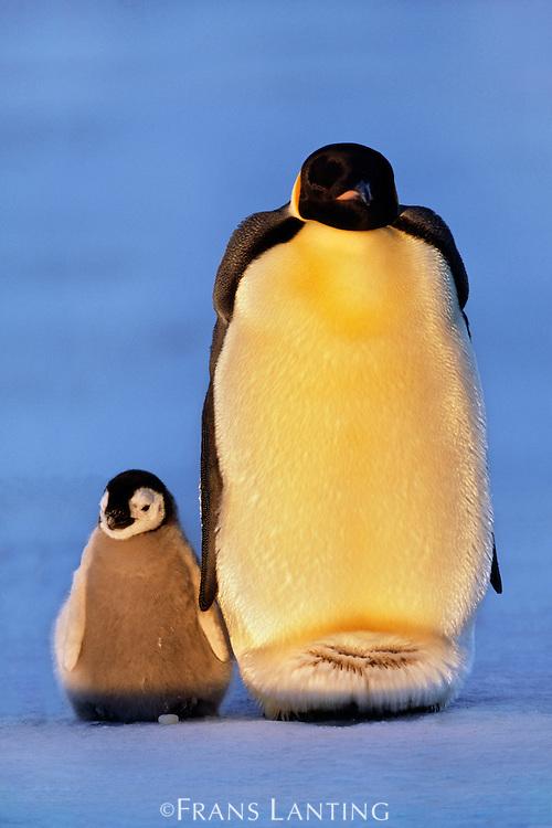 Emperor penguin and chick, Aptenodytes forsteri, Antarctica