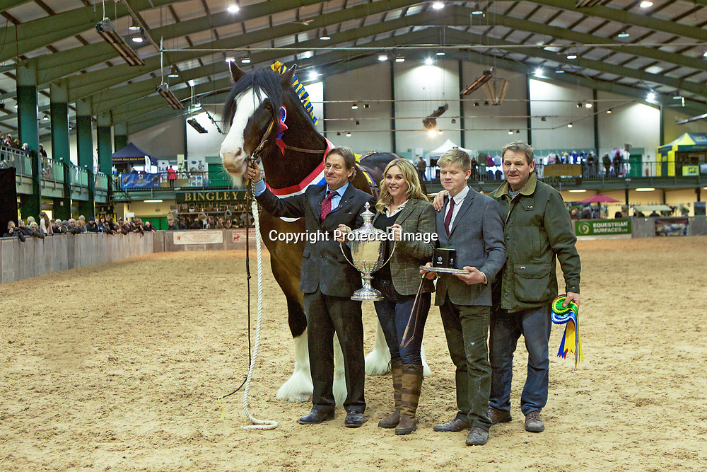 Walt Bedford showing  Bill Bedford's LANDCLIFFE CHARLIE  with Harry Bedford<br /> Champion Stallion<br /> f   2014<br /> s   Martonian Norman<br /> d   Landcliffe Wendy<br /> Trophy presented by Andrea Walsh of Buckhurst Plant Hire Ltd
