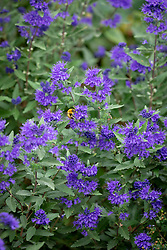 Caryopteris × clandonensis 'First Choice'. Bluebeard