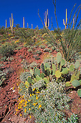 Saguaro, Ocotillo, Brittlebush, and Pricklypear Cactus in the Tucson Mountains, Saguaro National Park, Arizona