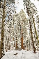Giant Sequoia Grove After Snow Storm, Calaveras Big Trees State Park, California