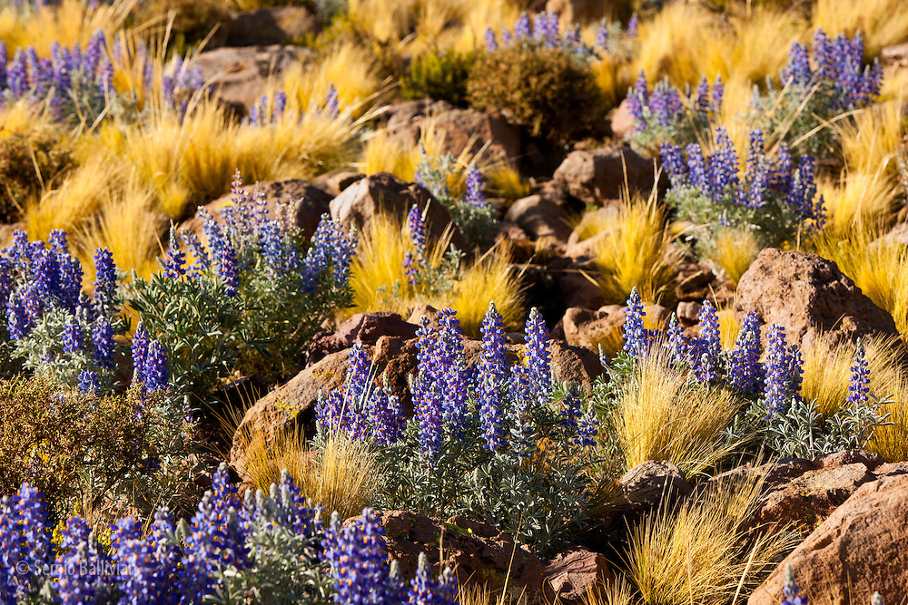 Mountain Lupine flowers as  seen above the Salar de Uyuni on the flanks of Mt. Thunupa volcano.