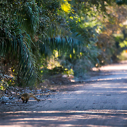 """Quati na estrada (Nasua nasua) fotografado em Corumbá, Mato Grosso do Sul. Bioma Pantanal. Registro feito em 2017.<br /> <br /> <br /> <br /> ENGLISH: South American Coati on the road photographed in Corumbá, Mato Grosso do Sul. Pantanal Biome. Picture made in 2017."""