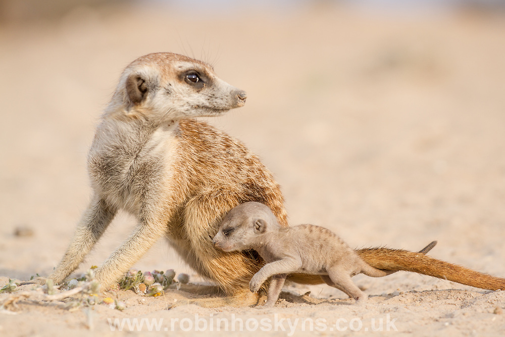 An adult Meerkat with a very young pup on it's first day out of the burrow.