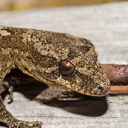 Mokohinau Islands, Burgess Island Mokohinau Gecko, Dactylochnemis sp