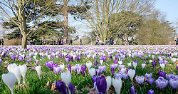 © Licensed to London News Pictures. 11/03/2015. Kew, UK. People enjoy the crocus displays at Kew Garden's today 11th March 2015. The display features the variety Crocus tommasinianus. The Uk has enjoyed warm sunny weather this week.  Photo credit : Stephen Simpson/LNP