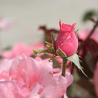 Praying Mantis on Pink Rosebud<br /> Ozarks<br /> Northwest Arkansas