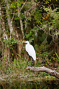 Great Egret also known as Great White Egret, Ardea alba, in Everglades, Florida, USA