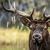 bull elk in pond with grass hanging off antlers