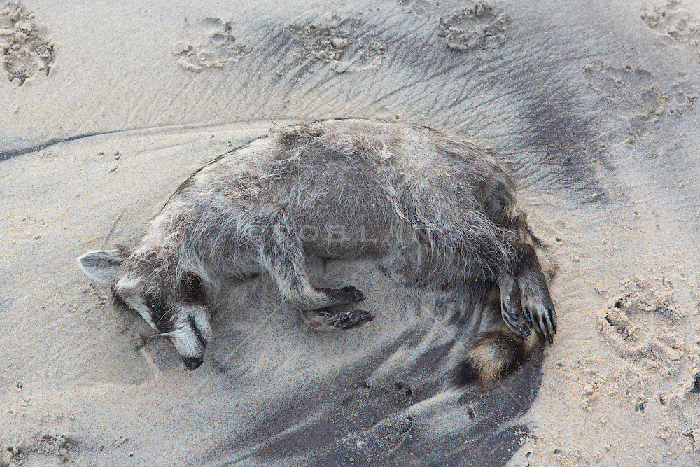 dead raccoon on the beach in Montauk, NY